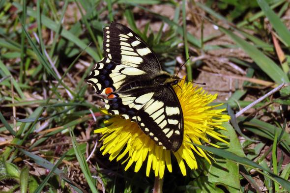 Schwalbenschwanz - (Natur, Schmetterling)