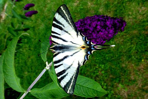 Segelfalter - (Natur, Schmetterling)