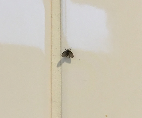 Schmetterlingsmücken Im Bad