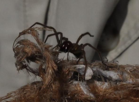 Ammendornfinger - (Tiere, Spinne)
