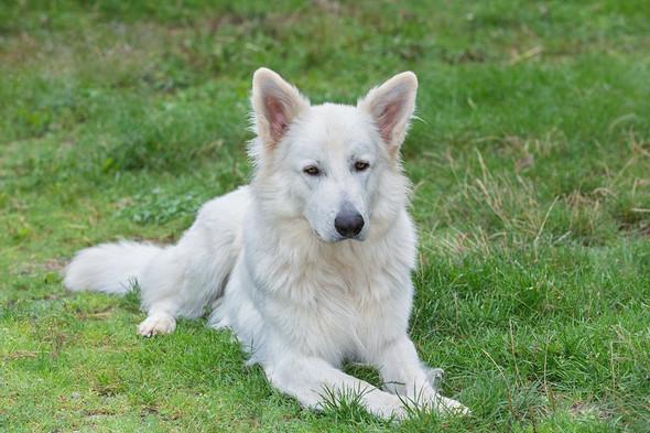 Weißer Schweizer Schäferhund - (Hund, Unterschied, Wolf)