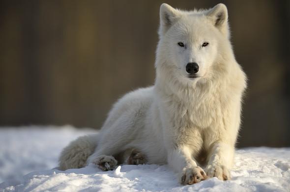 Polarwolf - (Hund, Unterschied, Wolf)