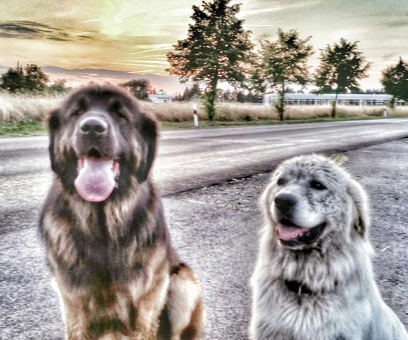 - (Hund, Malteser oder Pomeranian)