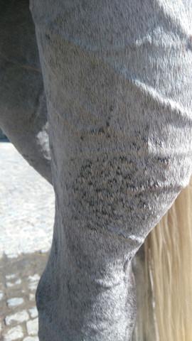 Kleine schwarze raue Stellen - (Pferde, Haut, reiten)