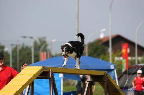 der - Steg - (Hund, agility)