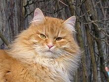 Sibirische Katze - (Katze, Katzenart)