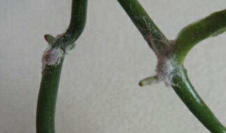 bild - (Pflanzen, Vanillepflanze, Vanille Pflanze )