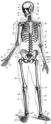 Das ist ein Skelett vom mensch für euch - (Medizin, Anatomie, rippen)