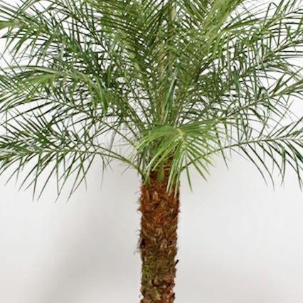 Phoenix roebellenii  - (Pflanzen, Botanik, Zimmerpflanzen)