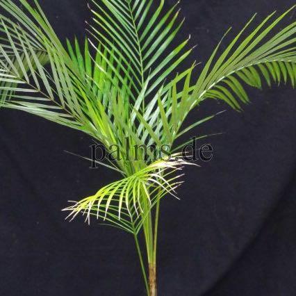 Lytocaryum weddellianum - (Pflanzen, Botanik, Zimmerpflanzen)