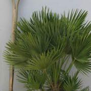 Chamaerops humilis vulcano  - (Pflanzen, Botanik, Zimmerpflanzen)