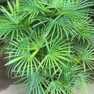 Rhapis multifida - (Pflanzen, Botanik, Zimmerpflanzen)