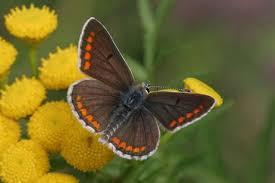 Kleiner Sonnenroschenblauling - (Tiere, Garten, Pflanzen)