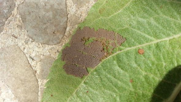was f r eier sind das insekten tiere blatt apfelbaum. Black Bedroom Furniture Sets. Home Design Ideas
