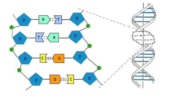 Dna Modell Basteln Hilfe Schule Biologie Hausaufgaben