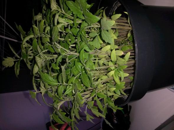 - (Pflanzen, Botanik, Tomaten)