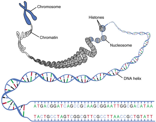 DNA-Struktur - (Schule, Biologie, Allgemein-Bildung)