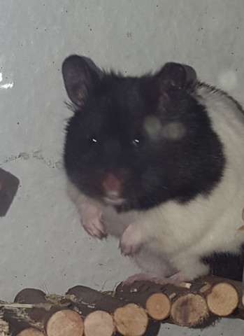 - (Hamster, blind)
