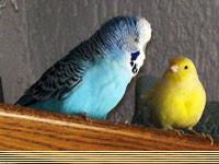 - (Tiere, kanarienvogel)