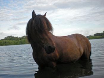 Pferd im Wasser - (Pferde, Isländer)
