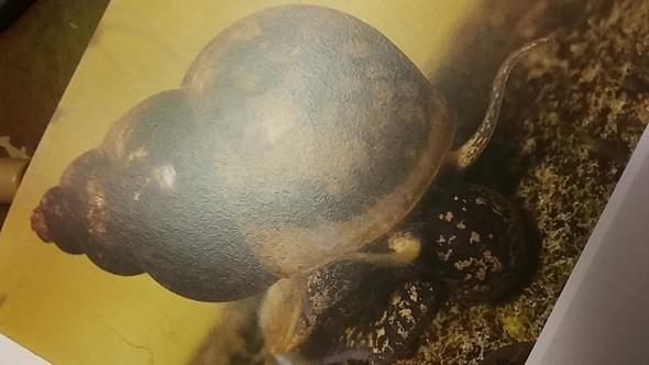 - (Aquarium, Zucht, Schnecken)