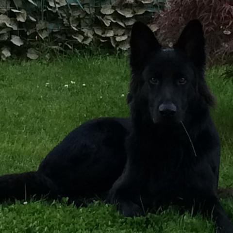 14 Monate alt - (Hund, schwarz, weiss)