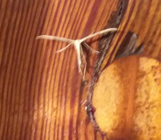 Insekt mit dünnen Flügeln - (Insekten, Zoologie)
