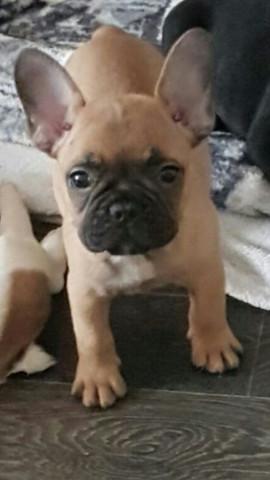 Frenchie1 - (Tiere, Hund, Haustiere)