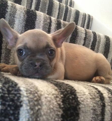 Frenchie2 - (Tiere, Hund, Haustiere)