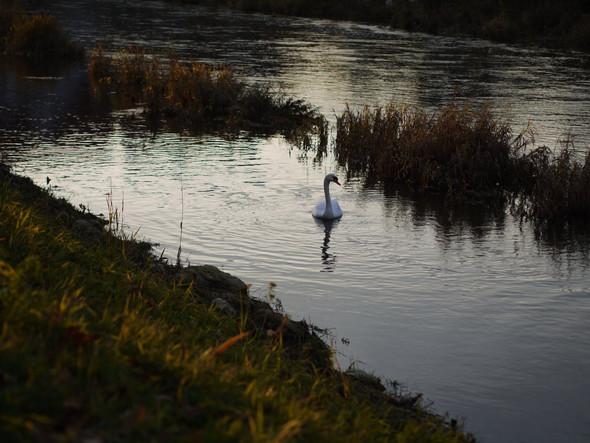 Schwan - (Bilder, Fotografie, Natur)
