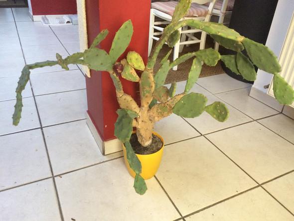 Kaktus - (kaktus, Kakteen)