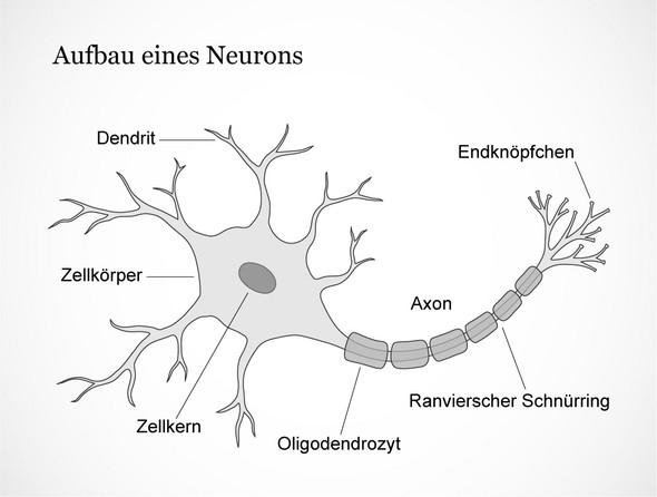 Neurobiologie/ neuronen? (Biologie, Gehirn, Neutronen)
