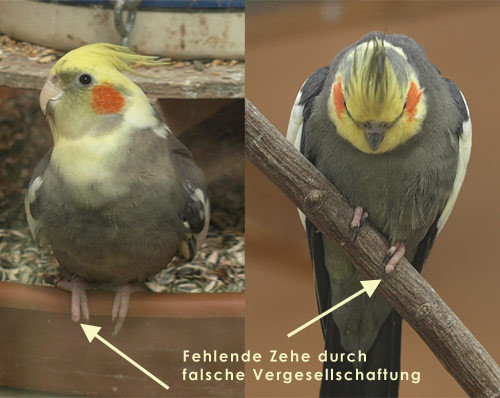 Bild: www.nymphensittiche.de - (Haustiere, Vögel, Haltung)
