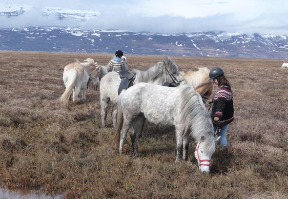 Islandpferde jeden Alters in Island - (Pferde, Muskeln, Muskelaufbau)