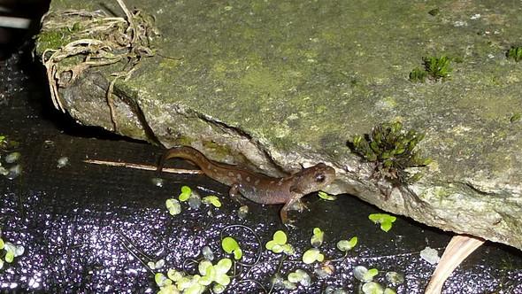 Bergmolchlarve geht an Land - (Tiere, Amphibien, kp)