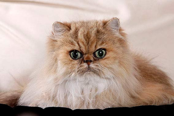 - (Katze, Nase, Rasse)