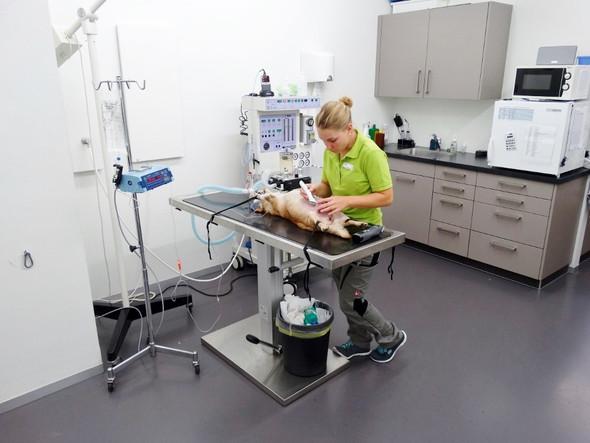 Vorbereitung auf die OP - (Ausbildung, Tiere, Tierarzt)