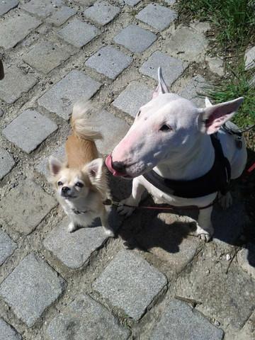 Pubsi und Zwergi - (Tiere, Hund, Rasse)