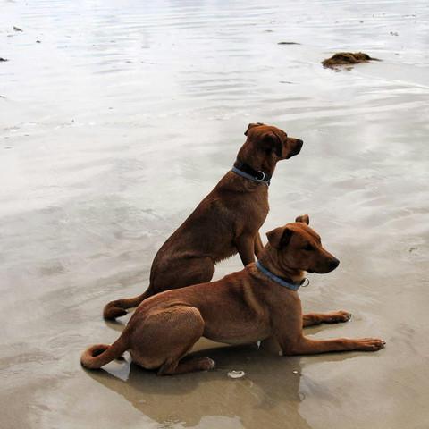 Tibor und Shandor - (Tiere, Hund, Rasse)