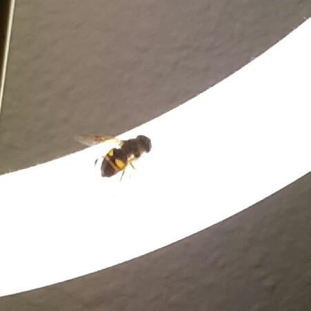 Unbekanntes Fluginsekt - (Insekten, Fliege, Fluginsekt)