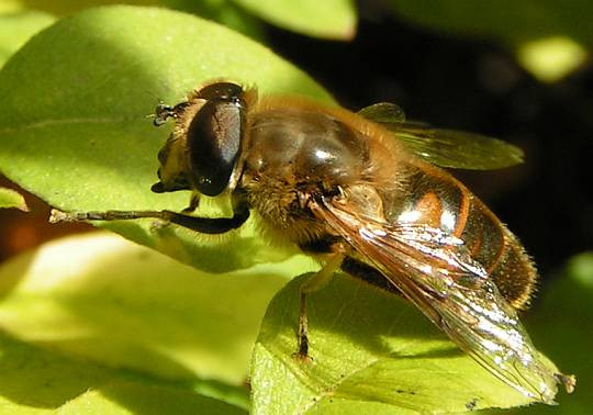 Eristalis tenax - (Insekten, Fliege, Fluginsekt)