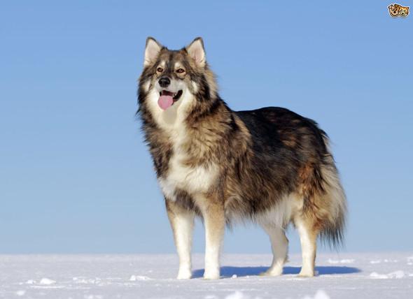 Utonagan - (groß, Wolf, Hunderassen)