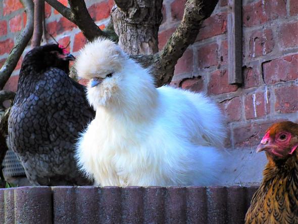 Es gibt viele verrückte Rassen, die mal mehr und mal weniger Eier legen. - (Tiere, essen, Ernährung)