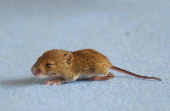 Waldmaus - (Tiere, Maus, Insekten)