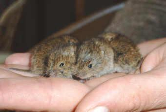 Feldmaus - (Tiere, Maus, Insekten)