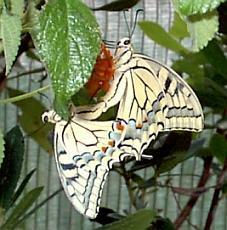 Schwalbenschwanz bei der Paarung. Bild: Ralph Sturm - (Insekten, Schmetterling, Fortpflanzung)