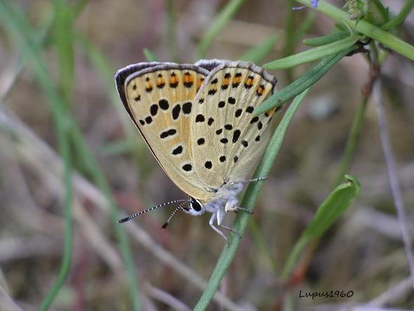 Brauner Feuerfalter - (Insekten, Schmetterling, Fortpflanzung)