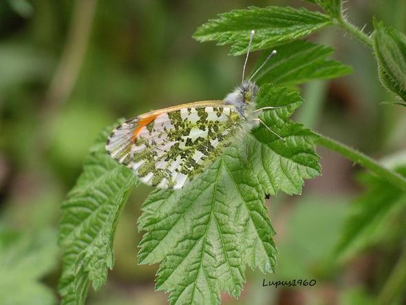 Aurorafalter - (Insekten, Schmetterling, Fortpflanzung)