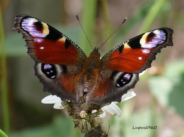 Tagpfauenauge - (Insekten, Schmetterling, Fortpflanzung)
