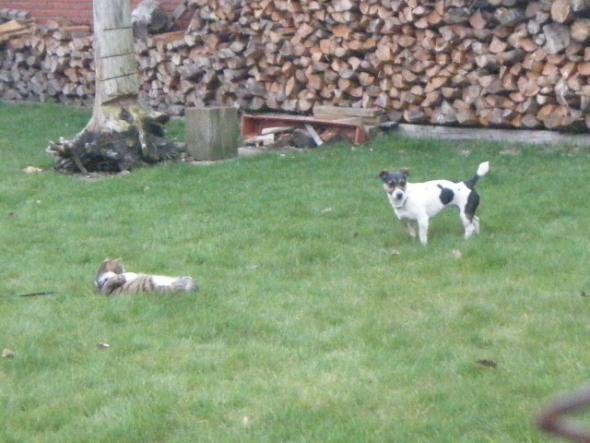 Piwi und Bella - (Hund, Beagle)